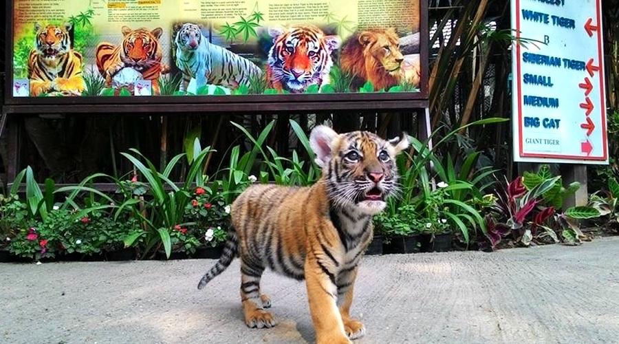 Tiger Kingdom (NEW BORN)